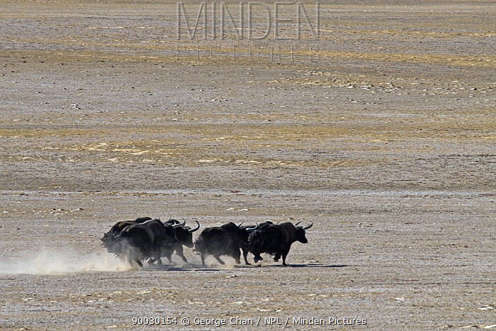 Yak (Bos grunniens) herd running across the Chang Tang Nature Reserve of central Tibet  -  George Chan/ npl