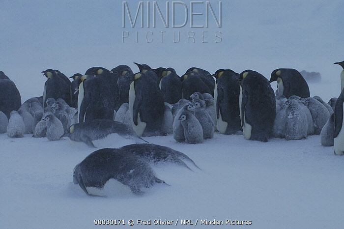 Emperor Penguin (Aptenodytes forsteri) colony with adults and chicks in snow, Antarctica  -  Fred Olivier/ npl