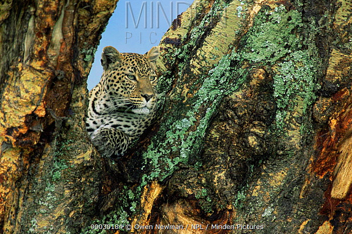 Leopard (Panthera pardus) female in Yellow fever tree, Ngorongoro Crater, Tanzania  -  Owen Newman/ npl