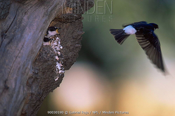 Blue and white swallow (Notiochelidon cyanoleuca) flying away from chicks at nest, Macachin, Argentina  -  Gabriel Rojo/ npl