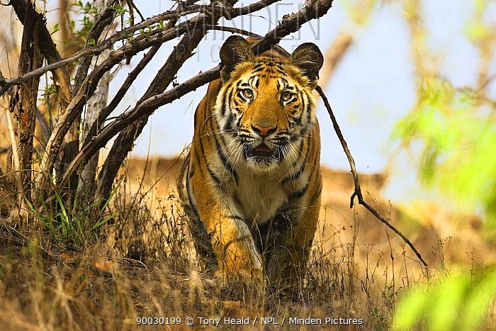 Bengal Tiger (Panthera tigris tigris) stalking, Bandhavgarh National Park, India  -  Tony Heald/ npl