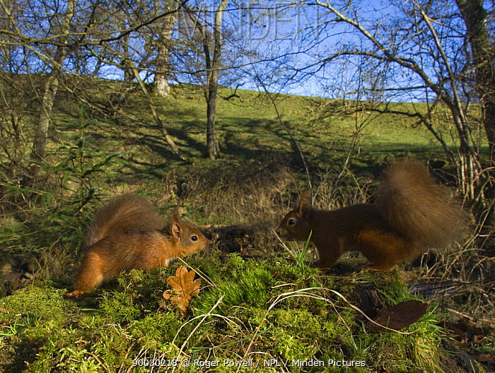 Eurasian Red Squirrel (Sciurus vulgaris) Northumberland, United Kingdom  -  Roger Powell/ npl