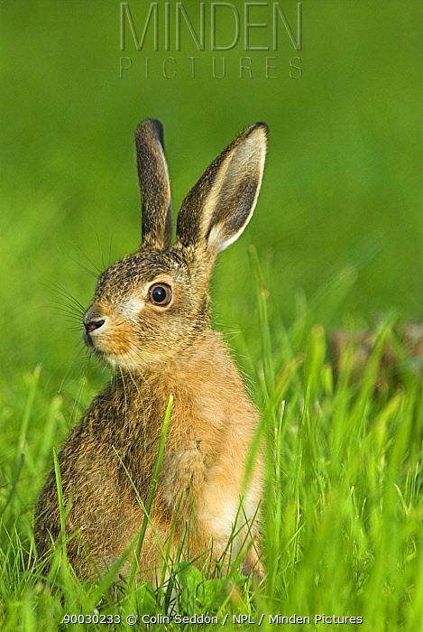 European Hare (Lepus europaeus) in grassland, 8-weeks-old, United Kingdom  -  Colin Seddon/ npl