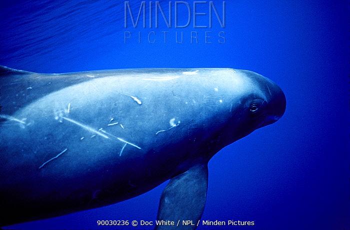 Pygmy Killer Whale (Feresa attenuata) showing scarring, markings, Pacific  -  Doc White/ npl