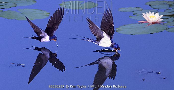 Barn Swallow (Hirundo rustica) flying and drinking from a garden pond, digital composite, Surrey, United Kingdom  -  Kim Taylor/ npl