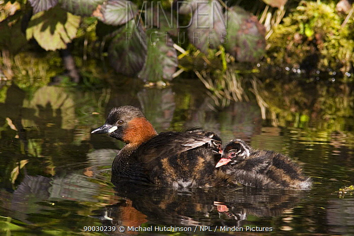 Little Grebe (Tachybaptus ruficollis), parent with two chicks, one chick on parent's back under wing feathers, Derbyshire, United Kingdom  -  Michael Hutchinson/ npl