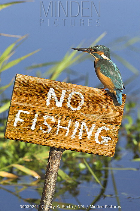 Common Kingfisher (Alcedo atthis) perched on No Fishing sign, Norfolk, England, United Kingdom  -  Gary K. Smith/ npl
