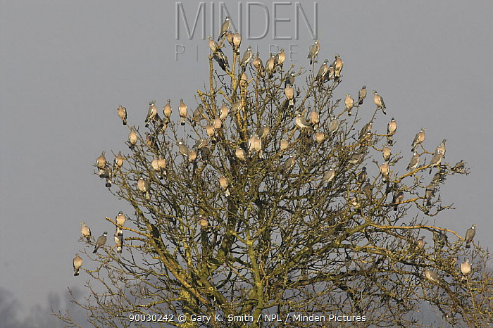 Common Wood-pigeon (Columba palumbus) flock perched in tree, Norfolk, England, United Kingdom  -  Gary K. Smith/ npl