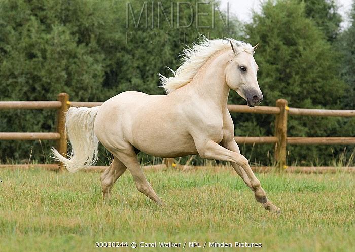 Palomino Welsh Pony stallion galloping in paddock, Fort Collins, Colorado, USA  -  Carol Walker/ npl