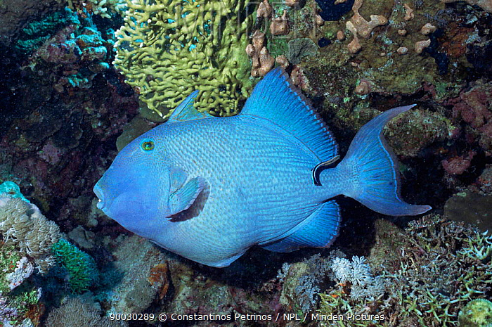Blue Triggerfish (Pseudobalistes fuscus) with Cleaner fish Red Sea  -  Constantinos Petrinos/ npl