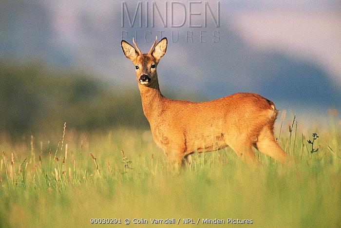 Western Roe Deer (Capreolus capreolus) buck standing in field United Kingdom  -  Colin Varndell/ npl