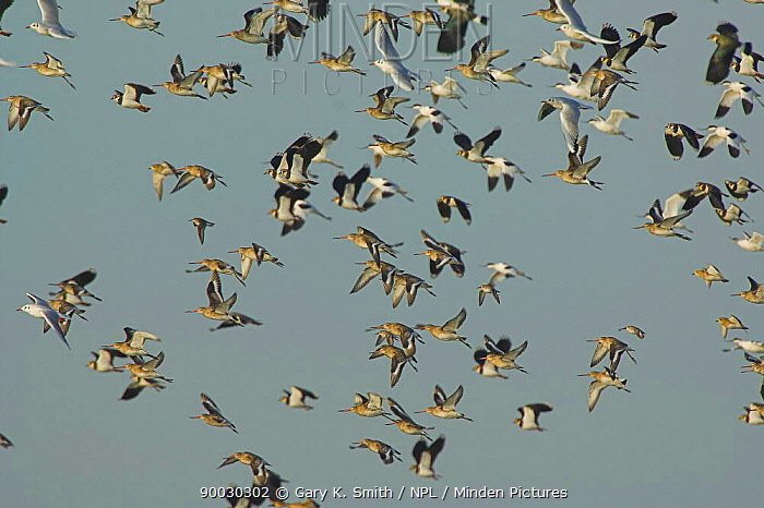 Lapwing (Vanellus vanellus) and Black Tailed Godwits (Limosa limosa) in flight, Norfolk, United Kingdom  -  Gary K. Smith/ npl