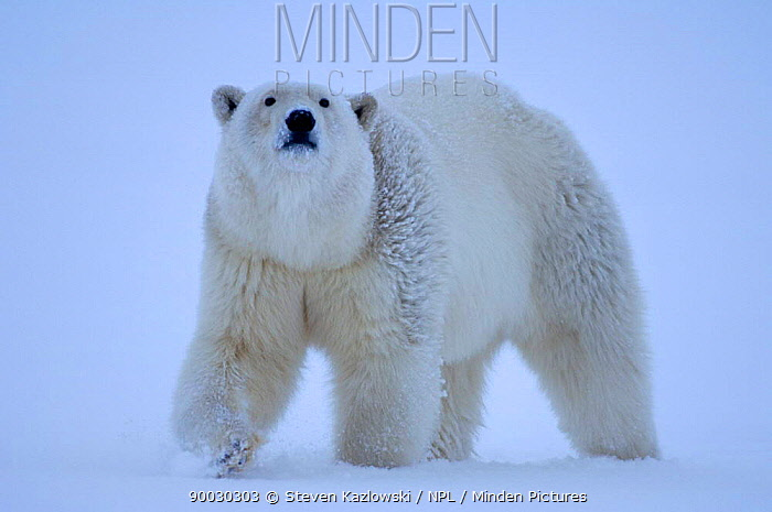 Polar Bear (Ursus maritimus) portait in snow, Coastal plain of the Arctic National Wildlife Refuge, Alaska  -  Steven Kazlowski/ npl