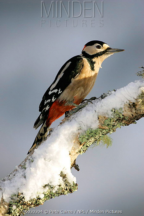 Great Spotted Woodpecker (Dendrocopos major) Cairngorms National Park, Scotland United Kingdom  -  Pete Cairns/ npl