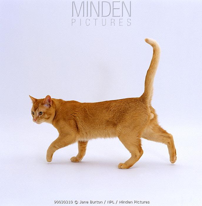 Domestic Cat (Felis catus) Red burmese male 'Ozzie' walking profile  -  Jane Burton/ npl