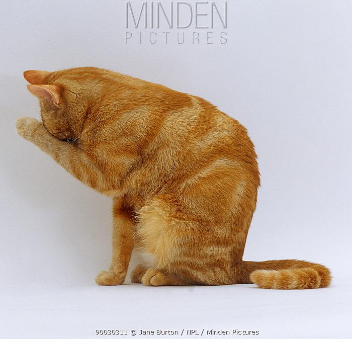 Domestic Cat (Felis catus) ginger tabby female 'Lucky' sitting rubbing eye with wrist  -  Jane Burton/ npl