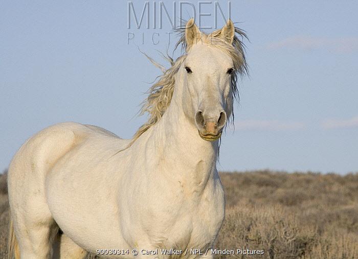 Wild horse (Equus caballus) gray stallion, Adobe Town, Wyoming, USA  -  Carol Walker/ npl