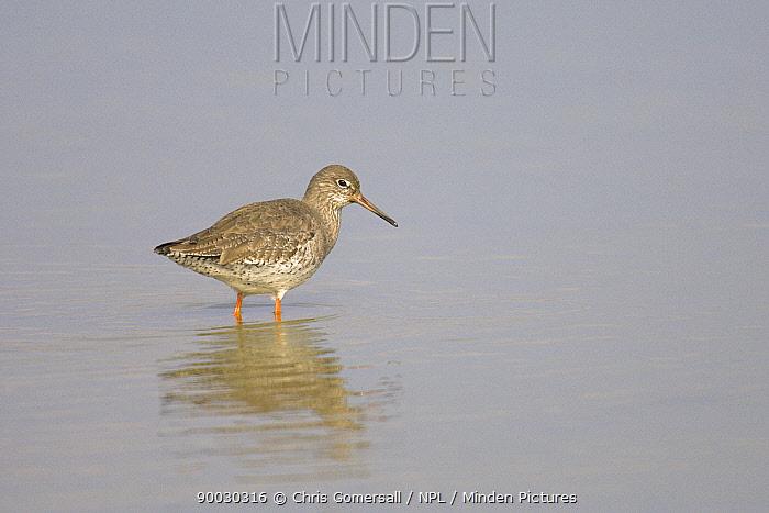 Common Redshank (Tringa totanus) adult wading, Norfolk, United Kingdom  -  Chris Gomersall/ npl