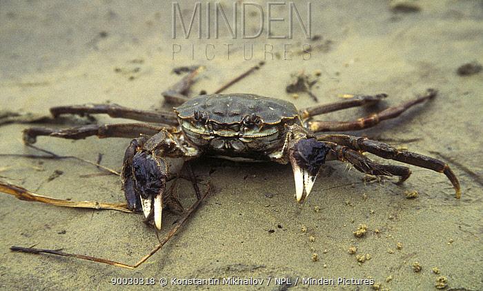 Rare freshwater Chinese crab, Lake Khanka, Khankaiskiy Zapovednik, Reserve, Ussuriland, Primorsky, SE Siberia, Russia  -  Konstantin Mikhailov/ npl