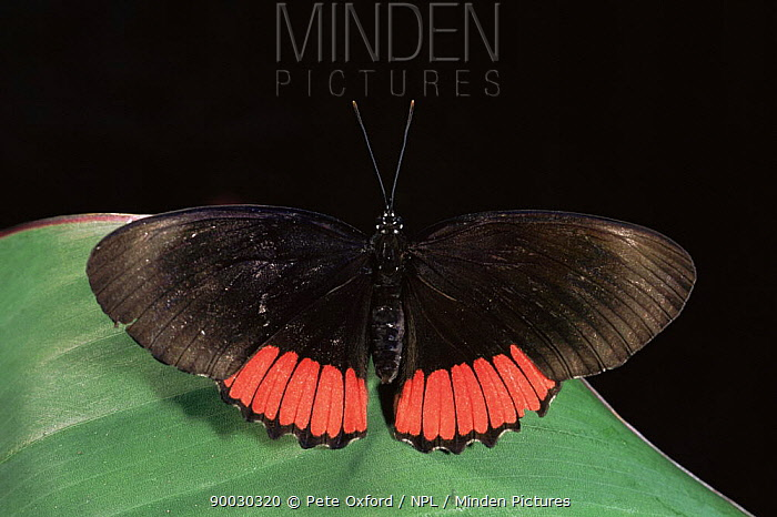 Red Rim (Biblis hyperia) captive, Amazonia, Ecuador  -  Pete Oxford/ npl