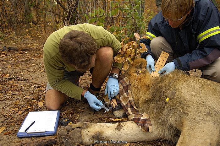 African Lion (Panthera leo) research Hwange national park, Zimbabwe  -  Andrew Harrington/ npl