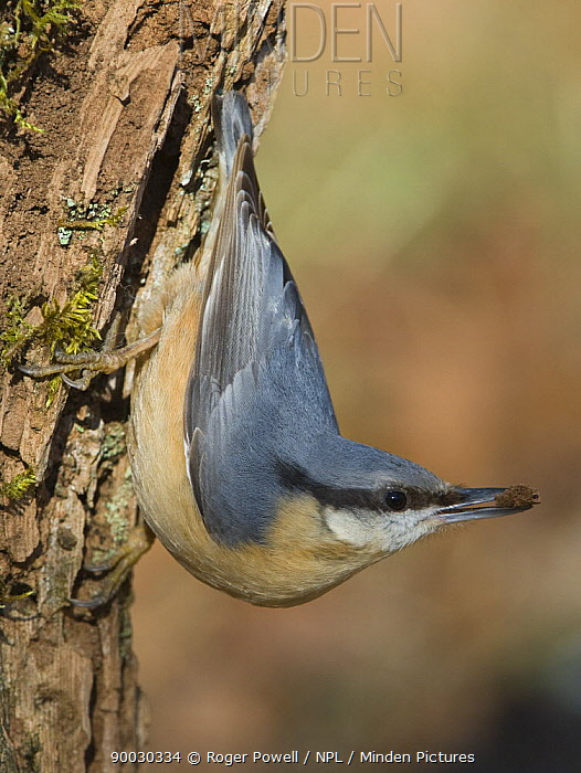 Wood Nuthatch (Sitta europaea) with bark in beak whilst searching for grubs on surface of tree trunk, Northumberland, United Kingdom  -  Roger Powell/ npl