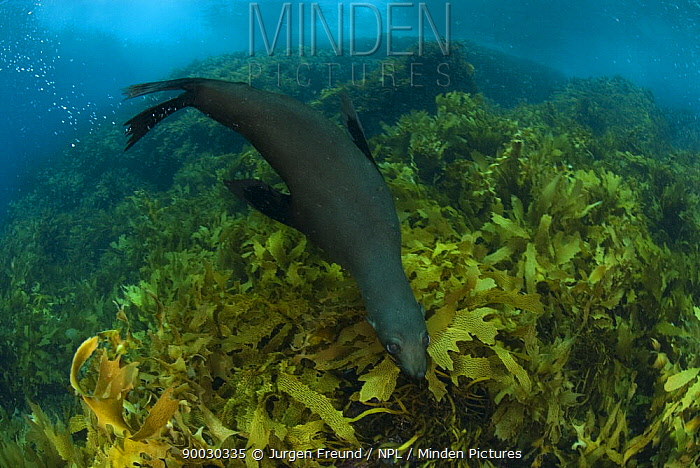 New Zealand Fur Seal (Arctocephalus forsteri) swimming amongst kelp Albany, Western Australia  -  Jurgen Freund/ npl