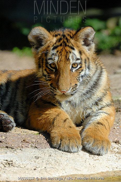 Siberian Tiger (Panthera tigris altaica) cub, aged 5 months, captive  -  Eric Baccega/ npl