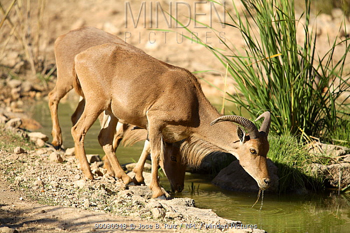 Barbary Sheep (Ammotragus lervia) drinking, introduced species, Spain  -  Jose B. Ruiz/ npl