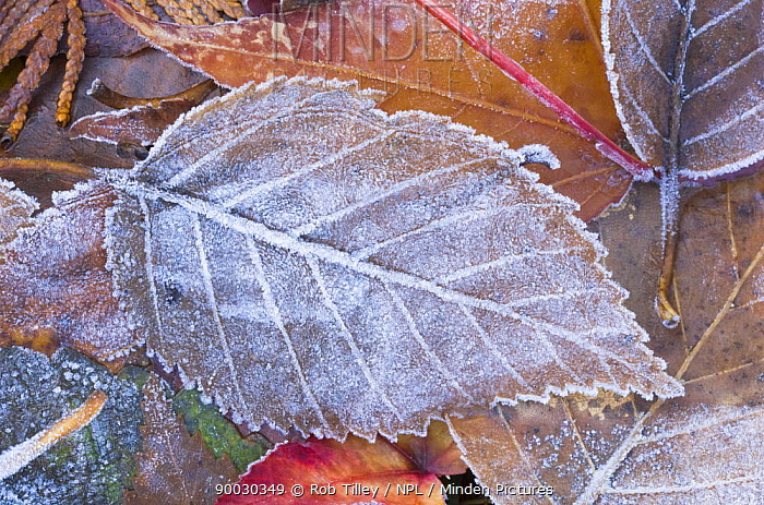Frost on fallen Paper Birch Leaf, Washington, USA  -  Rob Tilley/ npl