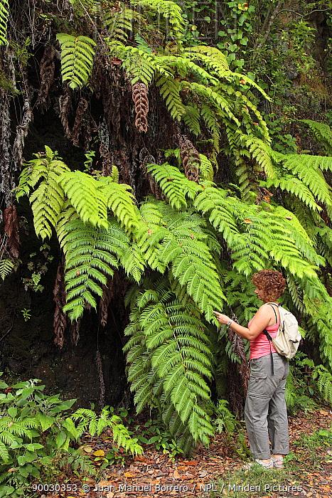 Woman inspecting large ferns in Laurissilva forest, Los Tilos Las Nieves Natural Park, La Palma, Canary Islands, Spain  -  Juan Manuel Borrero/ npl