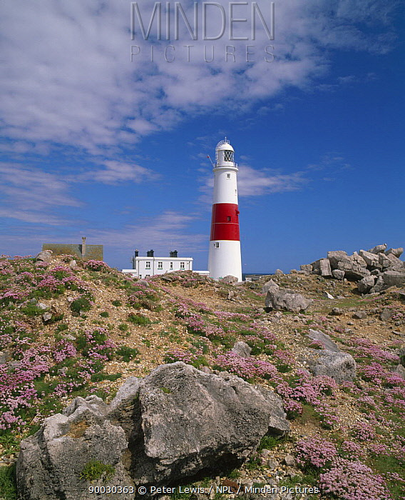 Portland Bill Lighthouse, with Sea thrift flowering in the foreground, Dorset, UK  -  Peter Lewis/ npl