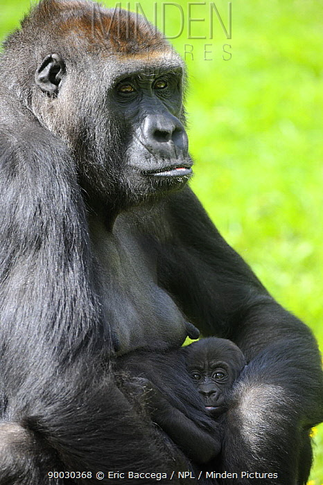 Western Lowland Gorilla (Gorilla gorilla gorilla) mother holding baby Captive, France  -  Eric Baccega/ npl