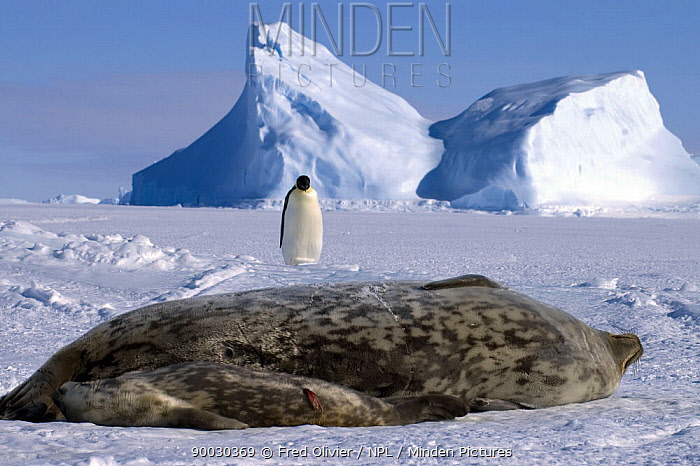 Weddell Seal (Leptonychotes weddellii) and newborn pup with Emperor penguin in the background, Antarctica  -  Fred Olivier/ npl