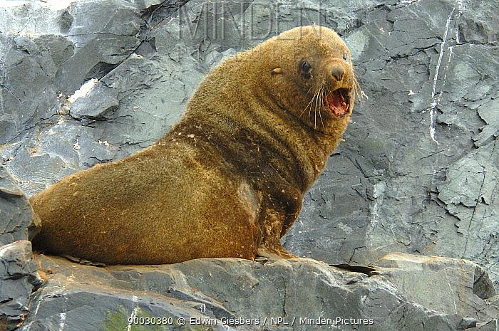 Southern Elephant Seal (Mirounga leonina) bull bellowing, Antarctica  -  Edwin Giesbers/ npl