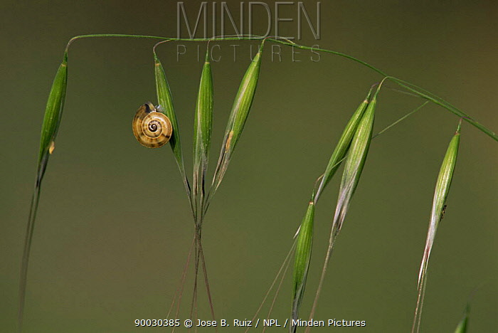 Snail on Oat head (Arvena sterilis) Spain  -  Jose B. Ruiz/ npl