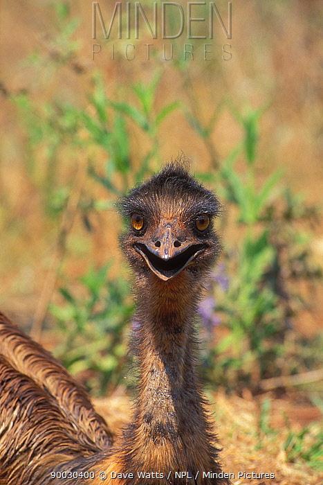 Emu (Dromaius novaehollandiae) Queensland, Australia  -  Dave Watts/ npl