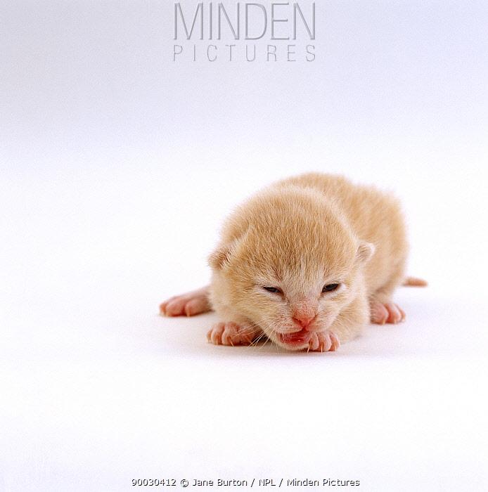Domestic Cat (Felis catus), 8-day cream kitten Milo, eyes and ears just opening, offspring of Pansy  -  Jane Burton/ npl