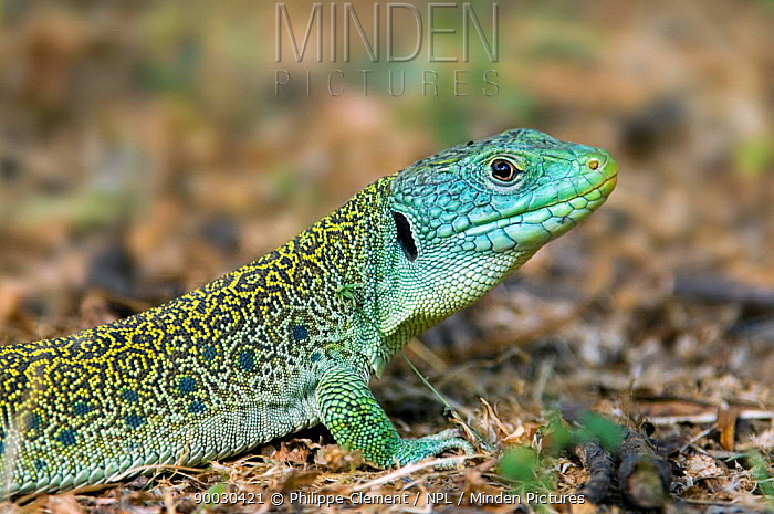 Eyed Lizard (Lacerta lepida) with ear hole 'tympanum' visible, Extremadura, Spain  -  Philippe Clement/ npl