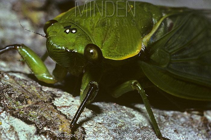 Greengrocer cicada (Cyclochila australasiae) showing ocelli on top of the head, in rainforest, Queensland, Australia  -  Premaphotos/ npl