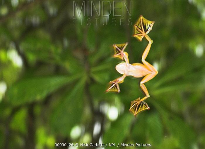 Wallace's Flying Frog (Rhacophorus nigropalmatus) in mid-glide Danum Valley, Sabah, Borneo, Malaysia  -  Nick Garbutt/ npl