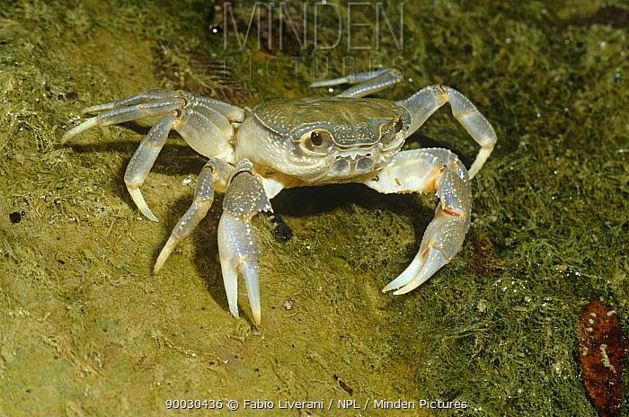 Short-tailed Crab (Potamon fluviatile) juvenile Resina river, Umbria, Italy 2-3 years  -  Fabio Liverani/ npl
