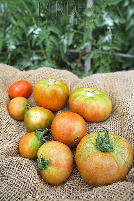 Tomatoes (Solanum lycopersicum) picked from vegetable garden, Spain  -  Jose B. Ruiz/ npl
