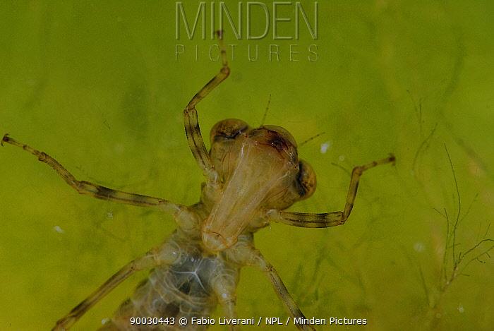 Dragonfly (Aeshna genus) larva in pond, Grigne Mountains, Lombardia region, Italy  -  Fabio Liverani/ npl