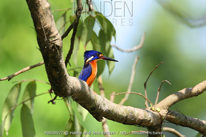 Blue eared kingfisher (Alcedo meninting) perched in tree, Bogor, Java, Indonesia  -  Hanne & Jens Eriksen/ npl