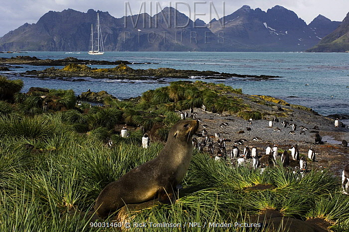 An adult fur seal (Arctocephalus gazella) in the grass tussock and a group of gentoo penguins (Pygoscelis papua) on the shoreline, with SY Adele anchored in the distance Prion Island, South Georgia, February 2007  -  Rick Tomlinson/ npl
