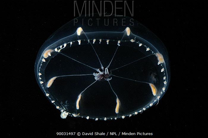 (Octophialucium funerarium) hydromedusan jellyfish, deep sea Atlantic ocean  -  David Shale/ npl