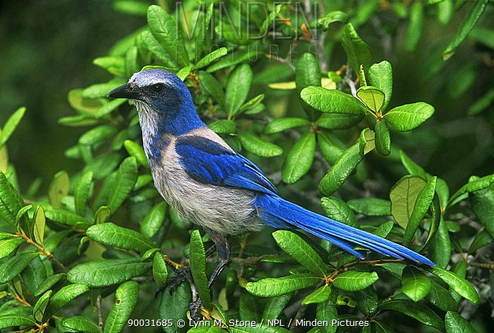 Florida Jay (Aphelocoma coerulescens) in oak scrub, Florida  -  Lynn M. Stone/ npl