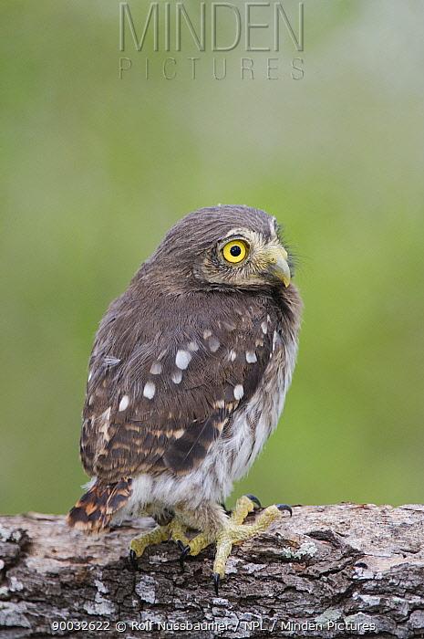 Ferruginous Pygmy Owl (Glaucidium brasilianum)young newly fledged, Rio Grande Valley, Texas  -  Rolf Nussbaumer/ npl