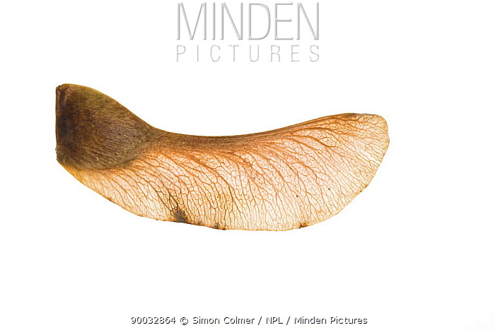 Field Maple (Acer campestre), winged seed, United Kingdom  -  Simon Colmer/ npl